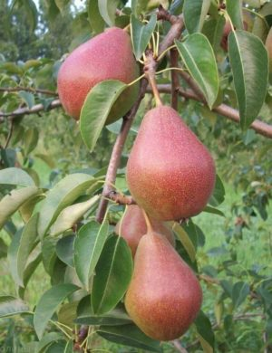 Яблоня Красуля