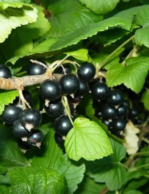 Смородина черная Черный жемчуг