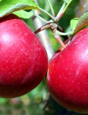 Яблоня Аркад красный