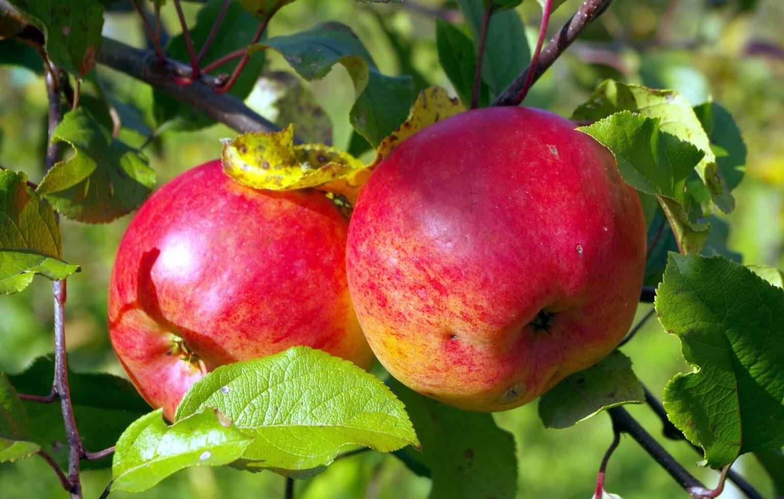этом уроке яблоня башкирский изумруд описание фото банты множества лент