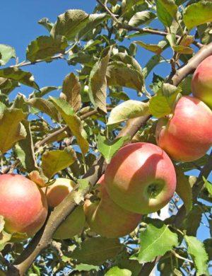 Яблоня Бирское Грушевое
