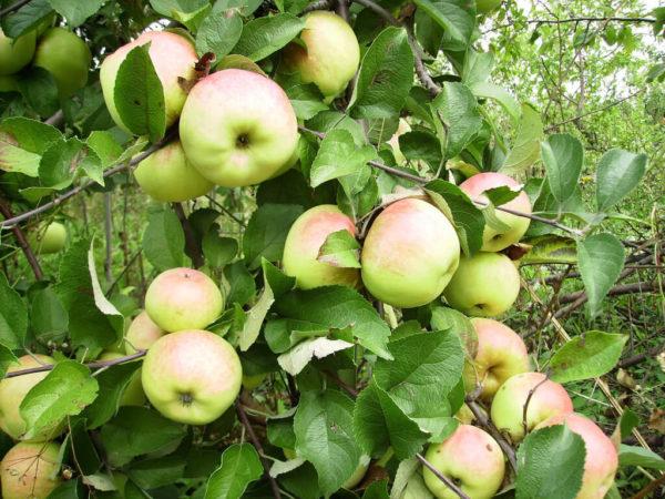 Яблоня Июльское черненко