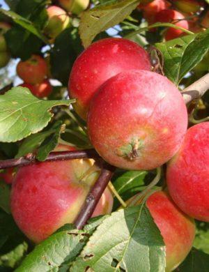 Яблоня Урожайное