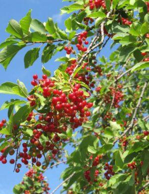 Черёмуха Красная садовая