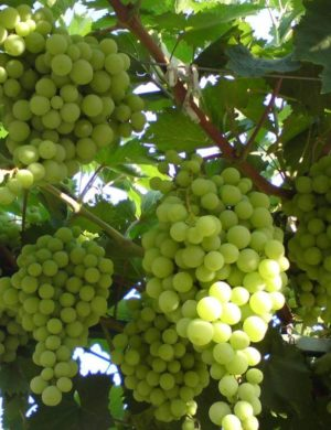 Виноград Кишмиш №232
