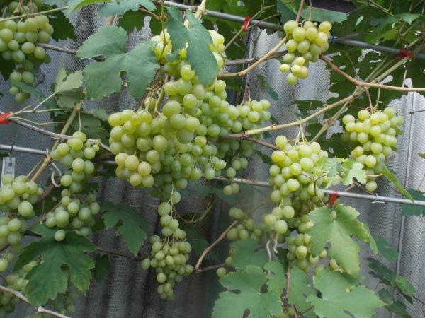 Виноград Юбилей-70